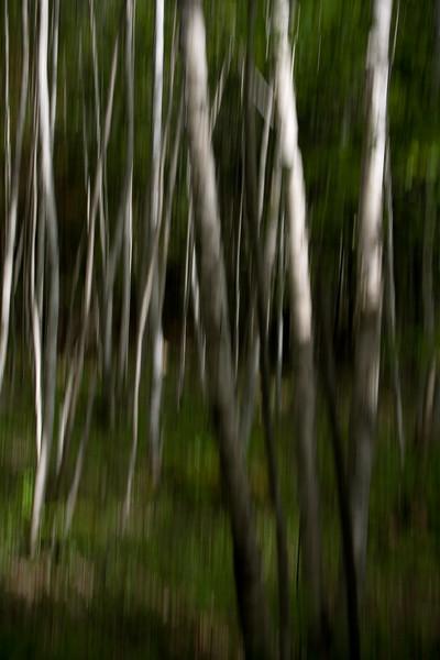 An interpretation of a Birch Forest.