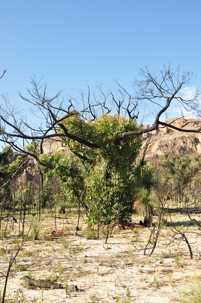 Bushfire Regrowth