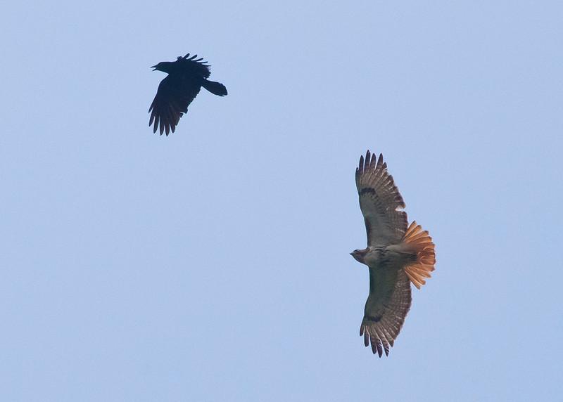 Hawk attacks Crow over Buckner Park