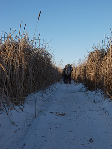 "At temperatures this cold, we limited our ""bushwhacking experience"" to hiking on snowmobile trail.  Cattails are super dense here."