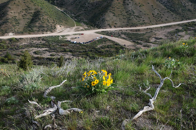 Peak balsamroot bloom, looking back at the start line.
