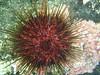 Colourful urchin