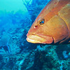 large grouper