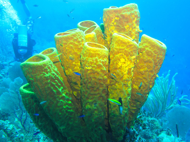 Giant tube sponge with Boz inverted in the background