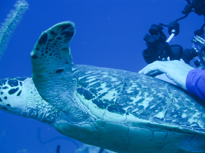 Boz hitching a ride on the large hawkshead turtle.  We got yelled at when we got back on the boat