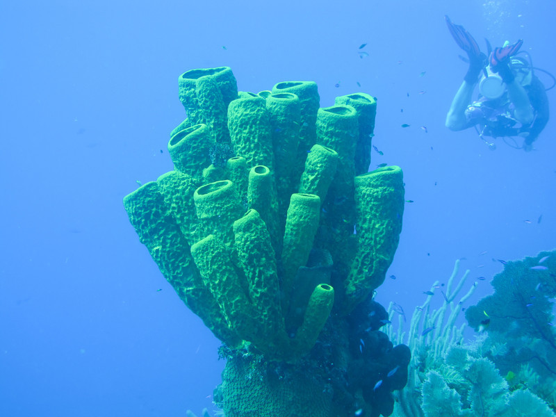 humongous tube sponge tree.  23 or 27 separate sponges counted from the trunk