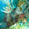 trumpet fish trying to hide in a gorgonian