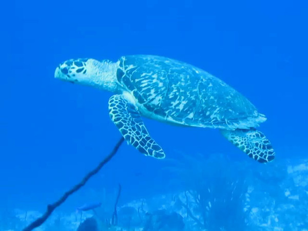 hawkseye turtle could care less swimming with me