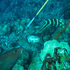 grouper feeding on lionfish just speared by the divemaster