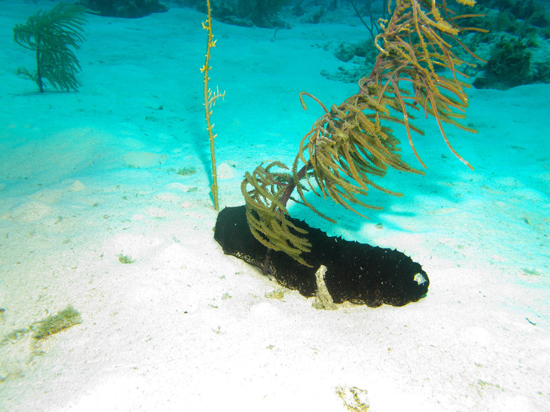sea cucumber and the fire coral stick I got burned on while taking these pics