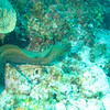 large green moray eel