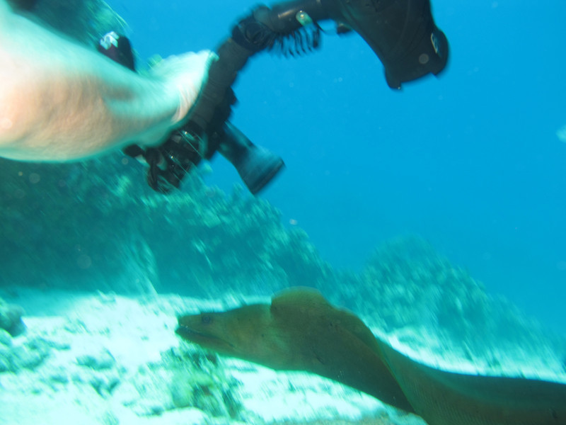 giant green moray eel on the run (swim?)