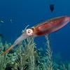 herro squid. too many squid pics