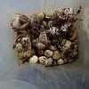 hermit crab races