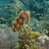 herro squid