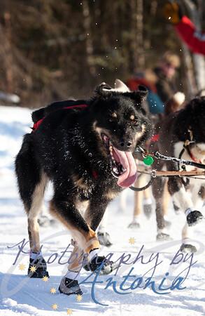 2012 Iditarod Champion, Dallas Seavey's team. Tudor Crossing - Anchorage, Alaska - March 2, 2013