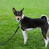 This is Echo, a 3-1/2 year old Male Black Basenji. Image taken at the BCWRC/SCOBC NAWRA/NOTRA meet in Squamish, BC, August 18th, 2013