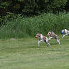 It looks like these three Whippets are performing Ballet. Filename:_02P9297