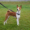 This is Zoe, a 20 month old Female Brown Basenji. Image taken at the BCWRC/SCOBC NAWRA/NOTRA meet in Squamish, BC, August 18th, 2013