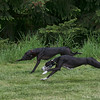 Two Siblings, Maxcyne (black muzzle) and Charlie ( white muzzle) race together.  Filename: _02P2919-6x10