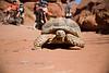 African Tortoise walking in the Desert - Dual Sport Utah 500 - Photo by Pat Bonish