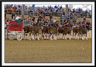 Budweiser wagon driver showing some manuever including 90-degree swing without moving the wagon.