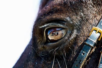"""Ici, la photo a été légèrement accentuée et contrastée afin de bien faire ressortir le détail de l'oeil du cheval monté par Marlène. Le reflet montre Chloé sur sa monture et votre serviteur en train de """"shooter""""  (canon 1D Mk III - EF 70-200 mm f/5,6 - 1/100 s à 200 ISO).   Here, the picture was slightly accentuated and contrasted to bring out the detail of the eye of the horse ridden by Marlene. The reflection shows Chloe on his horse and yours truly in the process of """"shooter"""" (Canon 1D Mk III - EF 70-200 mm f/5.6 - 1 / 100 sec at ISO 200)."""