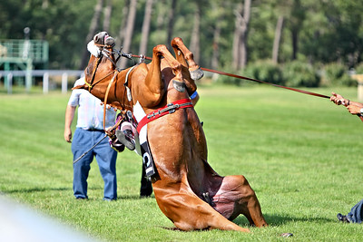 horse 8163-CdeB