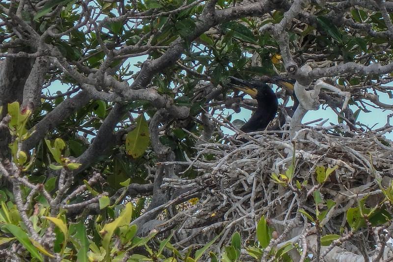 Cormorant chicks in their nest, Jardines De La Reina (Gardens of the Queen), Cuba, Fishing Trip 2016.