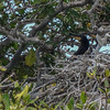 Cormorant chicks in their nest, Jardines De La Reina (Gardens of the Queen), Cuba, Fishing Trip 2016.