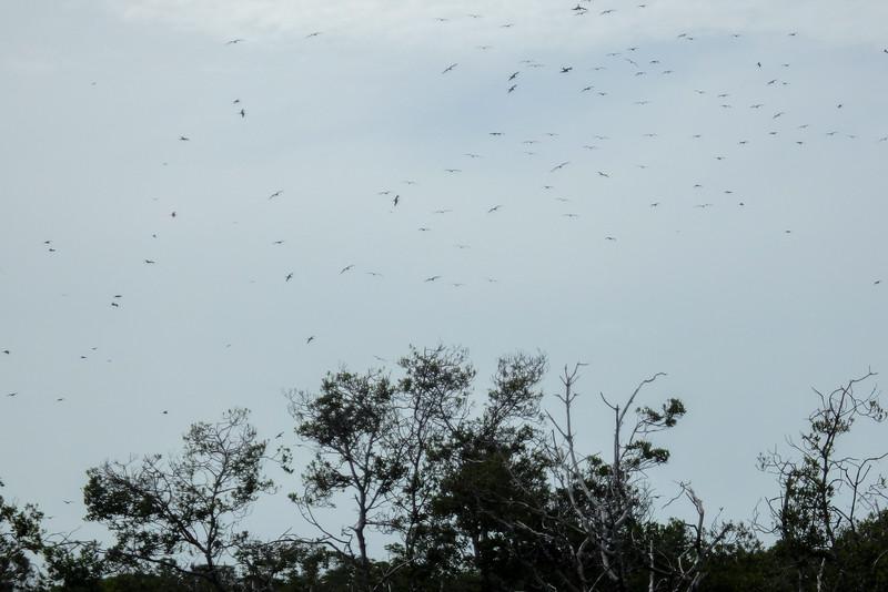 Frigate Birds, Jardines De La Reina (Gardens of the Queen), Cuba, Fishing Trip 2016.