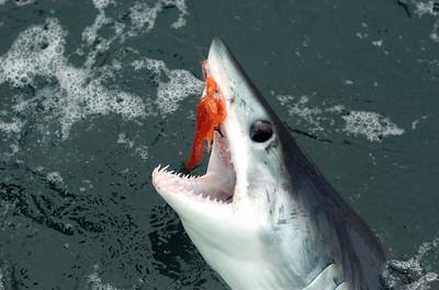 Fly Fishing for Mako Shark, San Diego, 2010-07