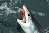 Fly Fishing for Mako Shark, San Diego, CA, 2010-07