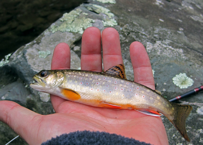 Brookie from Naked Creek.