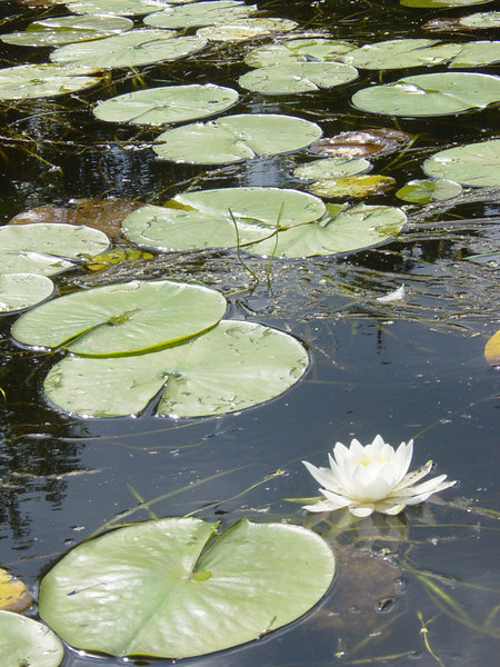 Water lillies on the Flambeau River in Wisconsin