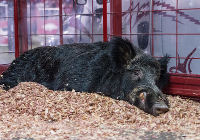 Tusk rests during a football game between Arkansas and LSU on Saturday, November 12, 2016.  (Alan Jamison, Nate Allen Sports Service)