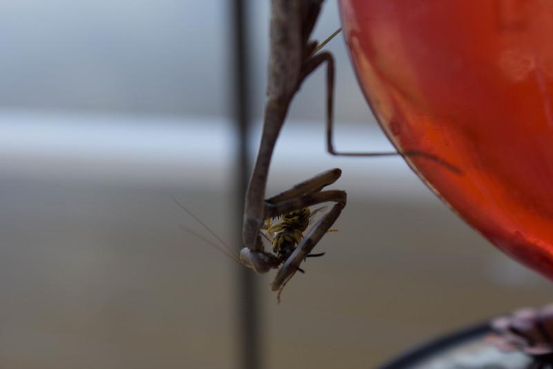 praying mantiss eating a bee