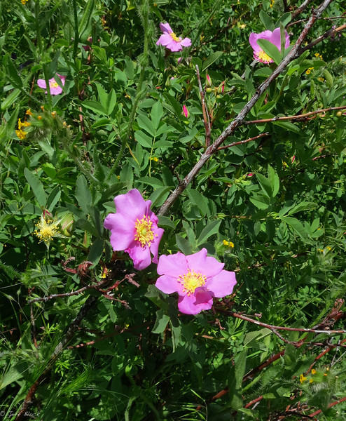 Wild roses in bloom all along the way.