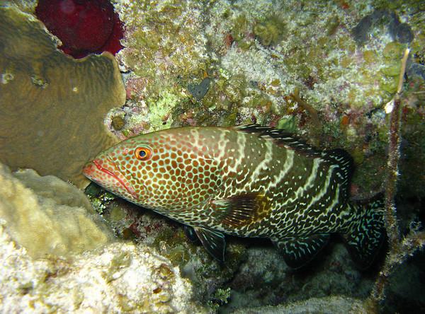 Night Dive: Tiger Grouper