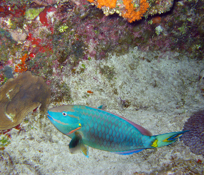 Night Dive: Sleeping Parrot Fish