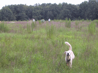"""Hashing Doggie-Style"" Sugar checks out the photojournalist, as the rest of the pack still wanders through this pasture's west treeline - Sugar wears a most fetching necklace, er, collar, festooned with beercaps from around the world."
