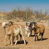"Southern Arizona Stockdog Association ""S.A.S.A."" Beginner's Stock Dog Herding Clinic"