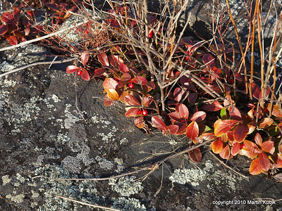 A crack in the rock was a home for wintergreen.   We feasted, somewhat, on the red wintergreen fruit.