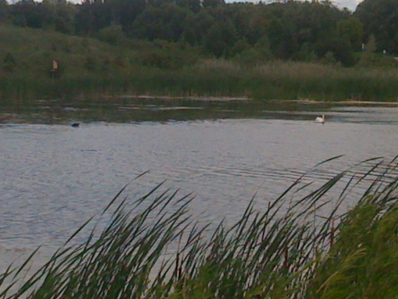A Lab was trying to keep up to the swan in the pond.