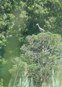 Kayaking in Mattituck Creek.  Juvenile heron.