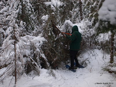 Mean time Paul came across a giant tangle of spruce and balsam.   This one will take a while to cut away.