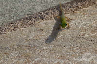 Gecko hanging out at the pool