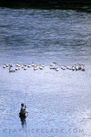 Fly Fishing near a pod of pelicans, Montana