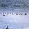 Fly Fishing near a pod of pelicans, Montana