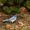Western Scrub Jay lands in search of seeds and invertebrates on the ground.  Related to the Steller's Jay,  and a member of the Corvidae family, Scrub Jays are common in open chaparral and oak savanna and woodlands as well as our neighborhoods in L.O.